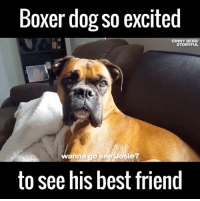 Look how happy he gets when he hears her name! 😂😂🙌: Boxer dog so excited  GINNY BEBBV  STORY FUL  wanna  go see Josie?  to see his best friend Look how happy he gets when he hears her name! 😂😂🙌