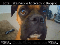 Ha so cute!! Such a gentleman when asking for food! 💜 ❤️Puggy❤️: Boxer Takes Subtle Approach to Begging  ggie Discussions Com  redit: @Lily theboxerdog NN Ha so cute!! Such a gentleman when asking for food! 💜 ❤️Puggy❤️