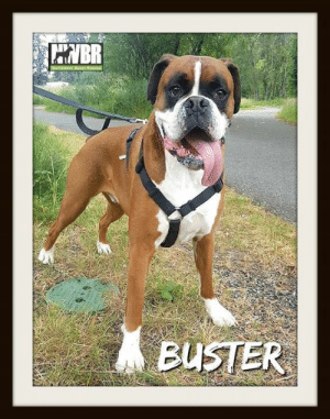 Dogs, Facebook, and Memes: BR  Northwest Boxer Rescues  BUSTER Meet Buster! He is a 5-year-old male who loves soccer! Seriously, bring out a soccer ball & this dog is thrilled!   Buster loves chilling at home, playing with his soccer ball, & snuggling in front of the TV. He's currently looking for a forever home without other dogs or kids.   Check out his full bio here: https://www.facebook.com/pg/NorthwestBoxerRescue/photos/?tab=album&album_id=2589726347708380