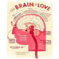 Feeling the love? 😍 (Illustration via @rachelignotofsky): BRAIN IN  Lon  NOREPINEPHRINE  CASTER.  kot  OH  NUCLEUS  CONTROLS THE  RELEASE of DOPAMINE.  PITUITARY  GLAND  CREATES FEELINGS OF  PREFRONTAL  TRUST BONDING  COATEX  RELEASES OxycTocIN  VENTRAL  RECILVES THE GOOD  FEELINLs op DopAMINL.  TEG MENTAL.  AND OxcyTOCIN  RELEASES DOPAMINE  AMYGDALA  REGULATES EMOTIONS  HIPPO CAMPUS  MANAGES MEMORIES  CLUDING PLEASANT ONES. Feeling the love? 😍 (Illustration via @rachelignotofsky)