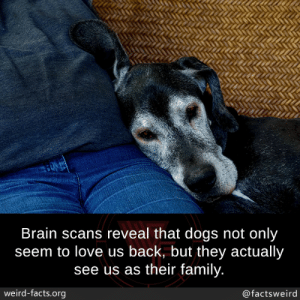 mindblowingfactz:Brain scans reveal that dogs not only seem to love us back, but they actually see us as their family.: Brain scans reveal that dogs not only  seem to love us back, but they actually  see us as their family.  weird-facts.org  @factsweird mindblowingfactz:Brain scans reveal that dogs not only seem to love us back, but they actually see us as their family.