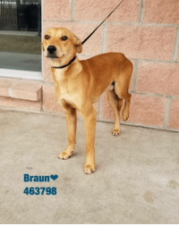 Dogs, Food, and Memes: Braun  463798 Email Placement@sanantoniopetsalive.org if you are interested in Adopting, Fostering, or Rescuing!  Our shelter is open from 11AM-7PM Mon -Fri, 11AM-5PM Sat and Sun.  Urgent Pets are at Animal Care Services/151 Campus. SAPA! is Only in Bldg 1 GO TO SAPA BLDG 1 & bring the Pet's ID! Address: 4710 Hwy. 151 San Antonio, Texas 78227 (Next Door to the San Antonio Food Bank on 151 Access Road)  **All Safe Dogs can be found in our Safe Album!** ---------------------------------------------------------------------------------------------------------- **SHORT TERM FOSTERS ARE NEEDED TO SAVE LIVES- email placement@sanantoniopetsalive.org if you are interested in being a temporary foster!!**