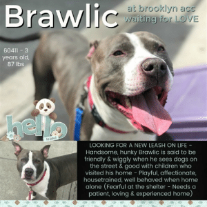 Being Alone, Bad, and Bones: Braw  at brooklyn acc  waiting for LOVE  60411-3  years old,  87 lbs  to you!  LOOKING FOR A NEW LEASH ON LIFE  Handsome, hunky Brawlic is said to be  friendly & wiggly when he sees dogs on  the street & good with children who  visited his home Playful, affectionate,  housetrained, well behaved when home  alone (Fearful at the shelter - Needs a  patient, loving & experienced home) **** TO BE KILLED - 5/2/2019 ****  SHELTER DOGS NEED LOVE TOO. As a matter of fact, they need the most love, and attention. Don't assume something bad because a dog has been surrendered to the shelter by his family. Anything could have happened. In Brawlic's case, his family upped and moved to a place where dogs aren't allowed. Was that the best possible choice they could have made? No. But Brawlic doesn't have enough time for us to consider and fuss over the what if's. He's on the euth list at Brooklyn ACC and will be killed without a new home and family or BFF. Big, handsome Brawlic may be a little fearful at the shelter but he was pretty successful in his former home, where he did well with children ranging in ages from four to fourteen and when he saw other dogs (especially dogs his size) while he was out for walks he was super happy and wiggly. Sounds like Brawlic is kid and dog friendly. On top of it, he's housetrained, playful and affectionate and a rockstar when left home alone. Sounds like the only thing missing is a hero. Please help us share Brawlic for that sweet second chance.   BRAWLIC@BROOKLYN ACC Hello, my name is Brawlic My animal id is #60411 I am a male gray dog at the  Brooklyn Animal Care Center The shelter thinks I am about 3 years old, 87 lbs Came into shelter as owner surrender Apr. 19, 2019 Reason Stated: MOVING - NO PETS ALLOWED :( Brawlic is rescue only   Brawlic was placed at risk due to behavioral concerns observed at the shelter and at home. Although Brawlic solicits attention, accepts contact and allows all handling, he was observed to also exhibit fearful behavior with the potential for defensive aggression, kennel presence and leash pulling. Brawlic was reported by his previous owner to also display resource guarding behavior over newer toys in a home environment, although this behavior has not been observed in the care center. Due to these observed behaviors, we feel Brawlic should be placed with an experienced rescue partner who can allow him to decompress before reassessing his behavior in a more stable home environment and seeking permanent placement in an adult-only home. He was diagnosed with conjunctivitis, Otitis externa and has diarrhea.  My medical notes are... Weight: 87 lbs Vet Notes 20/04/2019 DVM Intake Exam Estimated age: Approx 3 years Microchip noted on Intake? Negative, placed at intake History : Owner surrender, reportedly dog reactive/cage reactive. Subjective: BARH, panting, dilated pupils, overally soft body and allows all handling. Eats treats/cheese readily. Soft muzzle placed as precaution during medical treatments. Upon returning to cage he lunged and hard barked at handler. Evidence of Cruelty seen - none Evidence of Trauma seen - none Objective  P = wnl R = wnl BCS = 5/9 EENT: Eyes - conjunctival erythema and mucoid discharge OU, ears - moderate brown discharge, erythema, mildly thickened/crusty pinnae AU, no nasal discharge noted Oral Exam: Mild tartar PLN: No enlargements noted H/L: NSR, NMA, Lungs clear, eupnic ABD: Non painful, no masses palpated U/G: Male, two scrotal testicles MSI: Ambulatory x 4, skin free of parasites, no masses noted, healthy hair coat CNS: Mentation appropriate - no signs of neurologic abnormalities Rectal: Externally normal  Assessment: Conjunctivitis OU Otitis AU  Prognosis: Good  Plan:  Behavioral assessment Cleaned ears, applied claro AU Applied gentamycin OU Start neopolydex OU BID x 7 days  SURGERY: Okay for surgery  25/04/2019  Requested to re-evaluate need for TAO due to concerning behavior during treatments. Mild conjunctival erythema, no discharge OU.  Assessment: -Conjunctivitis AU (resolving) -Otitis AU  Plan: -Discontinue neo-poly-bac due to behavior concerns--markedly kennel reactive, lunging when being replaced after treatments. -Neuter  27/04/2019  Hx: 4/20 intake conj OU and otitis. treated with gent drops, neopolydex and claro 4/25 NPD discontinued due to behavior 4/27 noted to have diarrhea in the kennel  SO: BAR, fair appetite, no noted elimination, good energy level, soliciting attention No csv noted no d/c present  EENT: eyes clear, ears no scratch or headshake, no cough, sneeze or discharge noted on exam H/L: Eupneic, good RR/RE MSI: ambulatory, clean and shiny haircoat. no fecal staining noted Neuro: active and appropriate  A: Diarrhea – stress vs diet indiscretion vs gastroenteritis vs malabsorptive/maldigestive vs other otitis - resolving conjunctivitis - resolved  P: Metronidazole 15mg/kg PO BID for 5 days Proviable 1 cap PO 5 days  Details on my behavior are... Behavior Condition: 3. Yellow  Behavior History Behavior Assessment Behavior during intake: Brawlic had a tense body, tail down when counselor approached owner and barked. Counselor took his picture but no other handling was done due to body being very tense, lip licking and whale eyeing.  Date of Intake: 4/19/2019  Basic Information:: Brawlic is a 5 year old unaltered male that has no previous or current medical concerns that the owner is aware of. Owner had Brawlic in the home for 4 years but had to surrender due to moving.  Previously lived with:: 2 Adults  How is this dog around strangers?: When a stranger would come to the owners home, Brawlic would bark at the person. It takes him a few days to become comfortable around someone and then he would be friendly and playful. When a stranger would approach Brawlic when he was taken on an on-leash walk outside, he would lunge toward the person.  How is this dog around children?: Brawlic has been around children 4, 12 and 14 and was relaxed and respectful around all of the children.  How is this dog around other dogs?: Owner did not have any other dogs in the home but when taking Brawlic on an on-leash walk and he would see other dogs, he was friendly and wiggly. Owner stated that Brawlic loves other dogs that are close to his size and will pull towards them on walks with a soft body. Owner is unsure how Brawlic is around small dogs  How is this dog around cats?: When Brawlic would see a cat outside, he would bark, growl and lunge towards the other animal  Resource guarding:: OWner stated that when Brawlic first gets a new toy or treat, he will bark and growl for a few days if someone comes near it. After a few days passes, he does not care if someone takes it away from him. He is not bothered when the owner would approach his food.  Bite history:: Brawlic does not have a bite history  Housetrained:: Yes  Energy level/descriptors:: Medium  Other Notes:: Brawlic is not bothered when the owner would hold him/restrain him, being given a bath, having his paws touched or being disturbed while he was sleeping. When a stranger would come to the owners home or approach the owner, Brawlic would bark.   Has this dog ever had any medical issues?: No  Medical Notes: Brawlic does not have any known medical concerns  For a New Family to Know: Brawlic is described as friendly, affectionate, playful and excitable. He has a medium activity level and likes to play with balls, bones and ropes. When in the home, he liked to follow the owner around from room to room. Brawlic was fed dry food only brand Purina Lamb flavor. He was kept mostly indoors and is house trained. When left alone in the home, Brawlic was well behaved. Owner stated that Brawlic has been kept in a crate before and would bark and growl when left in the crate. He knows the cues come, stay and sit. For exercise, Brawlic was taken on brisk walks on the leash. When on leash, he tends to pull very hard at first when taken outside but will relax after a few minutes and pull lightly after. Owner has never walked him off leash so behavior is unknown.  Date of intake:: 4/19/2019  Spay/Neuter status:: No  Means of surrender (length of time in previous home):: Owner surrender  Previously lived with:: 2 adults  Behavior toward strangers:: Barks, lunges; requires a few days to become comfortable  Behavior toward children:: Relaxed, respectful around familiar children  Behavior toward dogs:: Friendly, wiggly, soft  Behavior toward cats:: Barks, growls, lunges  Resource guarding:: Barks, growls when newer toys are approached  Bite history:: None reported  Housetrained:: Yes  Energy level/descriptors:: Friendly, affectionate, playful and excitable with a medium energy level  Other Notes:: Brawlic will hard bark and growl when he is in his crate.  Summary:: Leash Walking Strength and pulling: Hard pulling Reactivity to humans: None Reactivity to dogs: None Leash walking comments: Hard barking and lunging toward dogs when passing kennel doors; overstimulated on the walk  Sociability Loose in room (15-20 seconds): Soft-neutral body, ears back, panting, explores somewhat, lays down near handlers, accepts contact, tail wagging, some lip licking,  Call over: Approaches readily, lip licks Sociability comments:   Handling  Soft handling: Soft-neutral body, panting, sits down, lip licking, ears back, small tail wags, somewhat distracted by outside noises, accepts all contact Exuberant handling: Soft-neutral body, panting, sits down, lip licking, ears back, small tail wags, somewhat distracted by outside noises, accepts all contact Handling comments:  Arousal Jog: Follows handler, soft and loose; Pulls hard toward door Arousal comments:   Knock Knock Comments: Pulls hard toward door when assistant exits; No response to knock; Pulls hard and sits in front of door, does not approach assistant  Toy Toy comments: Minimal-no interest  Summary:: According to Brawlic's previous owner, he did not live with other dogs in the home. But when taking Brawlic on an on-leash walk and he would see other dogs, he was friendly and wiggly. Owner stated that Brawlic loves other dogs that are close to his size and will pull towards them on walks with a soft body. Owner is unsure how Brawlic is around small dogs.  4/23: When off leash at the Care Center, Brawlic is introduced to a novel female dog. He is sexually motivated as he greets the female with a tense body, wide eyes, stands on his tiptoes, heightens his posture, with a vibrating tail. He quickly becomes frustrated when the gate is not opened. Brawlic jumps on the gate while hard barking and low growling. The gate is not opened and an off-leash interaction was not conducted.   4/24: Due to his behavior the previous day, a muzzle was placed on Brawlic. He displayed a neutral posture at the gate but the door was not opened due to the greeter being uncomfortable.   4/25: Brawlic is muzzled again today and was introduced a different novel female. He is sexually motivated as he greets the female with a tense body. The gate is opened with his leash held and he immediately mounts the female. The female gives Brawlic an appropriate correction and he listens briefly. The female walks away and he attempts to follow her and mount a second time but he is slowed down by handlers and separated. Once the gate is closed, he offers a play bow and bounce.   4/30: Brawlic was introduced to a novel female dog. He remains intensely sexually motivated and difficult to interrupt.  Date of intake:: 4/19/2019  Summary:: Tense, lip licking, whale-eyed, barked upon approach  Date of initial:: 4/20/2019  Summary:: Soft bodied, allowed all handling though lunged and barked at handler upon returning to kennel  ENERGY LEVEL:: Brawlic has been observed to exhibit a medium level of energy during his interactions in the care center.  BEHAVIOR DETERMINATION:: New Hope Only  Behavior Asilomar: TM - Treatable-Manageable  Recommendations:: No children (under 13),No cats,Place with a New Hope partner  Recommendations comments:: No children (under 13): Although Brawlic solicits attention, accepts contact and allows all handling, he was observed to also exhibit fearful behavior with the potential for defensive aggression, kennel presence and leash pulling. Brawlic was reported by his previous owner to also display resource guarding behavior over newer toys in a home environment, although this behavior has not been observed in the care center. As a result, it is recommended that Brawlic be placed in an adult only home to ensure his success. We advise safe and appropriate management when handling Brawlic. Force-free, reward based training only is advised, as well as utilizing guidance from a qualified, professional trainer/behaviorist.  No cats: Due to Brawlic's previous owner reporting him to growl, bark and lunge toward cats encountered on walks, it is recommended that Brawlic be placed in a home without any cats present.   Place with a New Hope partner: Although Brawlic solicits attention, accepts contact and allows all handling, he was observed to also exhibit fearful behavior with the potential for defensive aggression, kennel presence and leash pulling. Brawlic was reported by his previous owner to also display resource guarding behavior over newer toys in a home environment, although this behavior has not been observed in the care center. Due to these observed behaviors, we feel Brawlic should be placed with an experienced rescue partner who can allow him to decompress before reassessing his behavior in a more stable home environment and seeking permanent placement in an adult-only home. Force-free, reward based training only is advised as well as seeking guidance from a qualified trainer or veterinary behaviorist  Potential challenges: : Resource guarding,Fearful/potential for defensive aggression,Strength/leash pulling,Kennel presence  Potential challenges comments:: Resource guarding: Brawlic's previous owner reported him to exhibit resource guarding behavior over newer toys in a home environment. Brawlic was reported to growl and bark if newer toys were approached. This behavior has not been observed in the care center. Should this behavior arise in a home environment, please refer to the handout on Resource guarding behavior.  Fearful/potential for defensive aggression: Brawlic has displayed fearful behavior with the potential for defensive aggression. During his intake, he was observed to remain tense, whale eye, lip lick and bark when approached by staff. He was also observed to lunge when attempted to be placed back in his kennel after an interaction. Please refer to the handout on Fearful/potential for defensive aggression.  Strength/leash pulling: Brawlic exhibits leash pulling behavior due to his strength. Please refer to the handout on Strength/leash pulling.  Kennel presence: Brawlic has been observed on multiple occasions to exhibit kennel presence. This behavior is observed to escalate when being placed back into his kennel, where Brawlic will turn toward around and lunge toward the kennel door. Brawlic has also been observed to snap at times at the kennel door. Once removed from the kennel, this behavior has not been observed. Brawlic's previous owner has reported him to display this behavior when crated in a home environment. Please refer to the handout on Kennel presence.  BRAWLIC IS RESCUE ONLY…..TO SAVE THIS PUP YOU MUST FILL OUT APPLICATIONS WITH AT LEAST 3 NEW HOPE RESCUES. PLEASE HURRY!!!   IF YOU CAN FOSTER OR ADOPT THIS PUP, PLEASE PM OUR PAGE FOR ASSISTANCE. WE CAN PROVIDE YOU WITH LINKS TO APPLICATIONS WITH NEW HOPE RESCUES WHO ARE CURRENTLY PULLING FROM THE NYC ACC.  PLEASE SHARE THIS DOG FOR A HOME TO SAVE HIS LIFE.