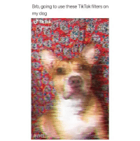 Funny, Memes, and Pets: Brb, going to use these TikTok filters on  my dog  9 Welcome to 2018, where now even our pets can get filters 😍
