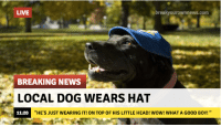 """Dog, Local, and Top: break yourownnews.com  LIVE  BREAKING NEWS  LOCAL DOG WEARS HAT  11:20  """"HE'S JUST WEARING IT! ON TOP OF HIS LITTLE HEAD! WOW! WHAT A GOOD BOY!"""""""