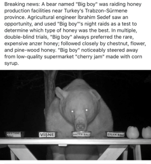 "Raids: Breaking news: A bear named ""Big boy"" was raiding honey  production facilities near Turkey's Trabzon-Sürmene  province. Agricultural engineer ibrahim Sedef saw an  opportunity, and used ""Big boy""'s night raids as a test to  determine which type of honey was the best. In multiple,  double-blind trials, ""Big boy"" always preferred the rare,  expensive anzer honey; followed closely by chestnut, flower,  and pine-wood honey. ""Big boy"" noticeably steered away  from low-quality supermarket ""cherry jam"" made with corn  syrup.  KESTANE  BALI  VISNE  ciCEK BAL  ANZER BALI"