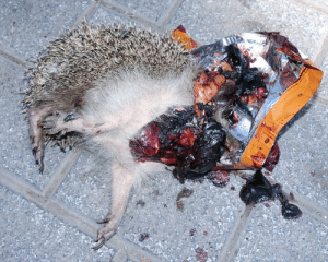 Breaking news: Carl the hedgehog has killed himself with a shotgun to his head. The cause for such actions seems his divorce and military serviced caused PTSD. Graphic images follow.: Breaking news: Carl the hedgehog has killed himself with a shotgun to his head. The cause for such actions seems his divorce and military serviced caused PTSD. Graphic images follow.