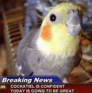 Confidence, News, and Breaking News: Breaking News  .IVE COCKATIEL IS CONFIDENT  TODAY IS GOING TO BE GREAT (((confidence increase)))