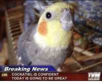 Memes, News, and Breaking News: Breaking News  LIVE COCKATIEL IS CONFIDENT  TODAY IS GOING TO BE GREAT  EXCLUSIVE https://t.co/bD7r2L1JGj