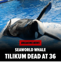 Memes, Orcas, and SeaWorld: BREAKING NEWS  SEAWORLD WHALE  TILIKUM DEAD AT 36 Tilikum - the orca that killed someone at SeaWorld in Orlando 7 years ago - and featured in the documentary Blackfish, has died. tilikum seaworld rip blackfish