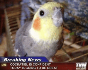 Meme, News, and Tumblr: BreaKingl NeWS  LIVE COCKATIEL IS CONFIDENT  TODAY IS GOING TO BE GREAT  EXCLUSIVE meme-rage:Have a good day everyone!