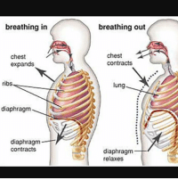 Friends, Dank Memes, and Diaphragm: breathing in  breathing out  chest  expands  chest  contracts  ribs  lung  9  diaphragm  diaphragm  contracts  diaphragm  relaxes i don't want friends i want audis