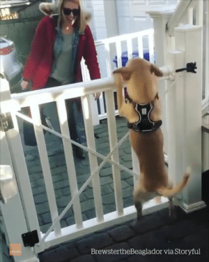 Home, That Feeling When, and Human: BrewstertheBeaglador via Storyful That feeling when your favorite human finally comes home 😍😍