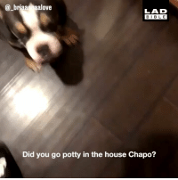 Memes, Bible, and House: @_briaa naalove  LAD  BIBLE  Did you go potty in the house Chapo? 'At least he tells the truth...' 😂🐶 📹 @_briaannaalove