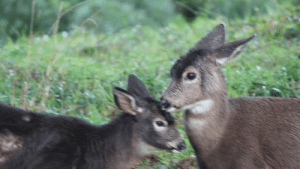 bright-witch: The deer often take refuge in my yard and I saw the cutest thing this morning ;-; I had to film it.: bright-witch: The deer often take refuge in my yard and I saw the cutest thing this morning ;-; I had to film it.