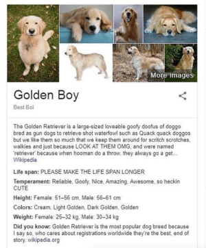 Bringing you Golden Boi (Golden Boy and Golden Girl)via @doggosbeingdoggos: Bringing you Golden Boi (Golden Boy and Golden Girl)via @doggosbeingdoggos