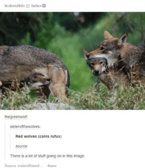 Very important image: brokendildo Italian  thegreenwolf.  sisterofthewolves  Red wolves (canis rufus)  source  There is a lot of stuff going on in this image  Source: sisterofthewol  Very important image
