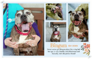 Being Alone, Beautiful, and Bones: @ Brooklyn ACC  Bingum  ID# 58305  Sweet senior girl Bingum plays like a dog half  her age, is very friendly and affcetionate and  basically, she's the perfect friend!  9 yrs young, 42.4 lbs INTAKE DATE - 3/27/2019  A sweet frosty faced sweetheart, overlooked and still dreaming of a family to love.  May 27 was little Bingum's 2 month anniversary at the kill shelter.  Why has no one picked this amazing wiggly lady.  She is so deserving of a home!     Brindleicious senior sweetheart Bingum is a beautiful soul, very friendly, affectionate and ready for playtime or quiet moments together. Please share this good girl for a home full of love! <3 A staff member writes: Don't let this pooch's grey muzzle fool you, she plays like a dog half her age. But if you need to get some work done, she can settle down easily by your side and quietly keep you company. She's also very friendly and affectionate. Basically, she's the perfect friend! Come visit Bingham at the Brooklyn Animal Care Center today!  VIDEO: https://youtu.be/FVXnTrLd3gI  BINGUM, ID# 58305, 9 yrs old, 42.4 lbs, Spayed Female Brooklyn ACC, Large Mixed Breed, Black Brindle / White    Owner Surrender Reason:  Shelter Assessment Rating: LEVEL 1 No young children (under 5) Medical Behavior Rating: Green  OWNER SURRENDER NOTES - BASIC INFORMATION: Bingum is a 9 year old, medium mixed breed female who was spayed prior to coming into the shelter. She has no known health issues or injuries and has not seen a vet recently. Bingnum was in her previous home for 6 years and his owner got her from a friend. Bingum was surrendered due to lack of time to care for her. Bingum previously lived with 3 adults. Bingum is friendly and outgoing when meeting new people. She will approach guests with a loose and wiggly body. She has spent time around visiting children of varying ages, and she is relaxed and respectful around them. Bingum has has not spent time around other dogs or cats before. She does not have any resource guarding behavior reported by the owner and no bite history. She is partially housetrained and her previous owner describes her energy level as medium.   Other Notes:  Bingum is not bothered by having her food or toys touched. She will allow her owner push her off the furniture and bathe her. She enjoys being brushed but she will pull away when her owner tries to trim her nails. She will alert bark when someone comes to the door.   Has this dog ever had any medical issues?  No  For a New Family to Know: Bingum is described as being friendly, affectionate and playful. She has been an indoor dog, likes to follow her family around and plays with balls, stuffed toys and chew bones. Bingum eats both wet and dry food, is partially house trained to go outside on grass and has accidents if not walked enough during the day. Bingum is well behaved when left alone in the house and listens to the commands sit and come. Bingum will walk on leash for exercise and will run away off leash.   INTAKE NOTES – DATE OF INTAKE, 27-Mar-2019: Bingum had a very loose and wiggly body during intake, she was leaning against counselors legs when being pet. She easily allowed counselor to collar her.    SHELTER ASSESSMENT SUMMARIES:   Leash Walking Strength and pulling: Moderate pulling Reactivity to humans: Hesitated when noticing staff members outside; Staff member approached and crouched down to and pet Bingum's body and neck, she began to lip lick and jumped up toward staff member Reactivity to dogs: None Leash walking comments:  Sociability Loose in room (15-20 seconds): Explores somewhat, checks in with handlers, excessive panting, solicits attention, seeks contact, jumps up onto handlers, wagging tail, ears back, leans into handlers, accepts all contact Call over: Approaches readily Sociability comments:   Handling  Soft handling: Leans into handler, soft and loose body, panting, wagging tail, open mouth and lolling tongue, moves away from handler Exuberant handling: Leans into handler, soft and loose body, head flipping with midsection handling Handling comments:  Arousal Jog: Engages in play with handler, exuberant  Arousal comments:   Knock Knock Comments: No response to knock; Approaches soft and loose, jumps up onto assistant  Toy Toy comments: Grips firmly and moves away; Readily trades  PLAYGROUP NOTES - DOG TO DOG SUMMARIES: According to Bingum's previous owner, she did not socialize with other dogs while in their care.  3/28: When off leash at the Care Center, Bingum is introduced to a novel male dog. She greets at the fence with a stiff, frozen posture and a hard stare. Due to this body language, she is muzzled before an off-leash introduction is attempted. Once she is allowed into the pen, her body remains extremely stiff and still but she does allow the helper dog to sniff her. The interaction is ended without removing her muzzle due to the inexperience of today's helper dog.   4/14: Bingum was introduced to a novel male today. She is muzzle and brought to the gate. She remains stiff, with a frozen posture and watches the male with a hard stare. Due to the male's inexperience, the gate is not opened and an off-leash interaction is not conducted.  INTAKE BEHAVIOR - Date of intake: 27-Mar-2019 Summary: Very loose and wiggly body, leans into handlers, allowed all handling  MEDICAL BEHAVIOR - Date of initial: 27-Mar-2019 Summary: Loose body, tail wagging, allowed all handling  ENERGY LEVEL: Bingum has been observed to exhibit a very high level of energy during her interactions in the care center. We cannot be certain of her behavior in a home environment, but we recommend that she be provided daily mental and physical stimulation as an outlet for her energy.  BEHAVIOR DETERMINATION: Level 1 (was Level 2 before) Behavior Asilomar TM - Treatable-Manageable  Recommendations: No young children (under 5) Single-pet home Recommend no dog parks  Recommendations comments:  No young children (under 5): Due to Bingum's overall anxiety and mild handling sensitivity, we feel it would be best for her to be placed in a stable home environment with no young children. It is advised that the new adopters should be able to exercise appropriate and safe management when handling Bingum. Force-free, reward-based training only is advised, as well as utilizing guidance from a qualified, professional trainer/behaviorist. Single-pet home/Recommend no dog parks: Due to the concerning behaviors that Bingum has shown during playgroup (see DOG -DOG SUMMARY), we feel that she should not visit dog parks and be the only resident dog. The Behavior Department recommends that she be socialized in a more controlled setting until her behavior towards other dogs can be further addressed. Reward-based, force-free training can be utilized to help Bingum associate dogs with things she enjoys like toys or treats.  Potential challenges: Handling/touch sensitivity Anxiety  Potential challenges comments: Handling/touch sensitivity: Binghum has been observed to display handling sensitivity during her interactions in the care center. Although she is highly social and seeks contact, Binghum was observed to head flip and move away from the handler during her interactions. Please refer to the handout on Handling/touch sensitivity.  Anixety: Binghum has exhibited anxiety during her interactions in the care center. Although she is highly social, seeks contact and allows most handling, she has been observed to excessively pant throughout her interactions in the care center. Please refer to the handout on Anxiety/anxious behavior.  MEDICAL EXAM NOTES  24-Apr-2019 Progress Exam Hx: 3/27/19: Owner surrender, noted mandibular lymphadenopathy, dental disease, vulvar mass. 3/30: CIRDC signs noted on rounds, started enrofloxacin  4/6: CIRDC resolved 4/15: CIRDC treated with enro and proviable S: BARH. No csvd noted. Eyes: Grossly appropriate OU. Ears: Unremarkable AU. Nasal Cavity: No nasal discharge.  Lungs: Eupneic Musculoskeletal: Ambulatory x 4 with no appreciable lameness.  Neuro: Appropriate mentation.  A: Mandibular lymphadenopathy Dental disease Vulvar mass (r/o prominent clitoris vs neoplasia) No CIRDC noted Prognosis: Fair P: Monitor mass, lymphadenopathy Recommend dental cleaning with placement Ok to move out of ISO Enrofloxacin 10mg/kg PO SID until 4/28 21-Apr-2019 Progress Exam Hx: 3/27/19: Owner surrender, noted mandibular lymphadenopathy, dental disease, vulvar mass. 3/30: CIRDC signs noted on rounds, started enrofloxacin  4/6: CIRDC resolved 4/15: CIRDC treated with enro and proviable SO: BAR, good appetite, unremarkable elimination Few sneezes heard during assessment along with mild serous nasal discharge  Lungs: Eupneic Musculoskeletal: Ambulatory x 4 with no appreciable lameness. Integument: Unremarkable haircoat. Neuro: Appropriate mentation.  A: Mandibular lymphadenopathy Dental disease Vulvar mass (r/o prominent clitoris vs neoplasia) CIRDC  Prognosis: Fair P: Monitor mass, lymphadenopathy Recommend dental cleaning with placement recheck daily in ISO Enrofloxacin 10mg/kg PO SID until 4/28 15-Apr-2019 Progress Exam Hx: 3/27/19: Owner surrender, noted mandibular lymphadenopathy, dental disease, vulvar mass. 3/30: CIRDC signs noted on rounds, started enrofloxacin  4/6: CIRDC resolved 4/15: noted diarrhea SO: BAR, good appetite, watery diarrhea noted in kennel Multiple sneezes heard during assessment along with serous nasal discharge present Lungs: Eupneic Musculoskeletal: Ambulatory x 4 with no appreciable lameness. Integument: Unremarkable haircoat. Neuro: Appropriate mentation.  A: Mandibular lymphadenopathy Dental disease Vulvar mass (r/o prominent clitoris vs neoplasia) CIRDC  Prognosis: Fair P: Monitor mass, lymphadenopathy Recommend dental cleaning with placement move to ISO Proviable 1 cap PO 5 days Enrofloxacin 10mg/kg PO SID for 14 days 6-Apr-2019 Progress exam History: 3/27/19: Owner surrender, noted mandibular lymphadenopathy, dental disease, vulvar mass. 3/30: CIRDC signs noted on rounds, started enrofloxacin  Today, 4/6: Recheck day 7 CIRDC Subjective: BAR, no coughing/sneezing/vomiting/diarrhea Objective:  Cageside exam performed. Eyes: Clear bilaterally, no discharge Nasal Cavity: No nasal discharge.  Lungs: Eupneic Musculoskeletal: Ambulatory x 4 with no appreciable lameness. Integument: Unremarkable haircoat. Neuro: Appropriate mentation.  Assessment: -Mandibular lymphadenopathy -Dental disease -Vulvar mass (r/o prominent clitoris vs neoplasia) -CIRDC (resolved) Prognosis: Fair Plan: -Monitor mass, lymphadenopathy -Recommend dental cleaning with placement -Okay to D/C enrofloxacin, move out of isolation 30-Mar-2019 Progress Exam Vet Notes: 11:43 AM H: CIRDC signs seen on rounds S: BAR, consistent sneezing and coughing, no vd. Eyes: Unremarkable OU Ears: Unremarkable AU. Nasal Cavity: Mild serous nasal discharge  Lungs: Eupneic U/G: Normal external genitalia. No discharge. Musculoskeletal: Ambulatory x 4 with no appreciable lameness.  Neuro: Appropriate mentation.  Assessment 1)CIRDC  Plan:  Move to iso, start enrofloxacin 10 mg/kg PO SID x 10 days 27-Mar-2019 DVM Intake Estimated age: 9 years Microchip noted on Intake? No Microchip Number (If Applicable): History: Owner surrender Subjective: BARH, no coughing/sneezing/vomiting/diarrhea Observed behavior: Wagging tail, loose body language. Allowed exam with minimal restraint. Evidence of cruelty seen: No Evidence of trauma seen: No Objective: P: WNL R: WNL BCS: 5/9 OP: Mucous membranes pink and moist. CRT <2. Severe calculus/gingivitis with multifocal abrasive wear. EENT: Ears and nares clear bilaterally, no discharge noted. Nuclear sclerosis OU. PLN: Mandibular ln bilaterally moderately prominent, symmetrical, nonpainful. All other ln Small/soft/symmetrical/nonpainful CV: No murmurs or arrhythmias, pulses strong and synchronous. RESP: Eupneic, no crackles/wheezes GI: Soft, nonpainful, no palpable masses. UG: Female spayed, spay scar on umbilicus, no mammary gland tumors noted, no discharge. 2cm mass visible within vulva with firm object palpable inside. No pain on palpation, no ulceration. INT: Good hair coat, no areas of alopecia or pruritus, no ectoparasites or masses noted. MS: Ambulatory x4, no pain on palpation of epaxials NEURO: Mentation appropriate, cranial nerves intact, no deficits noted. Assessment: -Mandibular lymphadenopathy (likely secondary to dental disease) -Dental disease -Vulvar mass (r/o prominent clitoris vs neoplasia) Prognosis:  Fair Plan: -Monitor mass, lymphadenopathy -Recommend dental cleaning with placement Surgery: Spayed   * TO FOSTER OR ADOPT *   If you would like to adopt a NYC ACC dog, and can get to the shelter in person to complete the adoption process, you can contact the shelter directly. We have provided the Brooklyn, Staten Island and Manhattan information below. Adoption hours at these facilities is Noon – 8:00 p.m. (6:30 on weekends)  If you CANNOT get to the shelter in person and you want to FOSTER OR ADOPT a NYC ACC Dog, you can PRIVATE MESSAGE our Must Love Dogs page for assistance.   PLEASE NOTE: You MUST live in NY, NJ, PA, CT, RI, DE, MD, MA, NH, VT, ME or Northern VA. You will need to fill out applications with a New Hope Rescue Partner to foster or adopt a NYC ACC dog. Transport is available if you live within the prescribed range of states.  Shelter contact information: Phone number (212) 788-4000 Email adopt@nycacc.org  Shelter Addresses: Brooklyn Shelter: 2336 Linden Boulevard Brooklyn, NY 11208 Manhattan Shelter: 326 East 110 St. New York, NY 10029 Staten Island Shelter: 3139 Veterans Road West Staten Island, NY 10309  * NEW NYC ACC RATING SYSTEM *  Level 1 Dogs with Level 1 determinations are suitable for the majority of homes. These dogs are not displaying concerning behaviors in shelter, and the owner surrender profile (where available) is positive.    Level 2  Dogs with Level 2 determinations will be suitable for adopters with some previous dog experience. They will have displayed behavior in the shelter (or have owner reported behavior) that requires some training, or is simply not suitable for an adopter with minimal experience.   Level 3 Dogs with Level 3 determinations will need to go to homes with experienced adopters, and the ACC strongly suggest that the adopter have prior experience with the challenges described and/or an understanding of the challenge and how to manage it safely in a home environment.