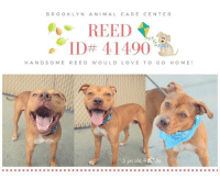"""Beautiful, Children, and Click: BROOKLYN ANIMAL CARE CENTER  ,"""" ID# 41490.  HAND SOME REED WOULD LO VE TO GO HOME!  5 yrs old, 42 Ibs TO BE KILLED 9/22/18  A friendly, warm smile, beautiful grey eyes, the color of autumn - Reed is handsome, sweet and he would the be happiest little fellow, if he could find a loving home to belong to. As an exuberant playful Boy who is full of energy he would do best in an active family who loves to share all the adventures and has some dog-experience already. Please share Reed for a happy forever!  VIDEO: https://www.youtube.com/watch?v=KeAWAUuQDjk  Reed ID# 41490 Brooklyn ACC 5 yrs old, 47.2 lbs Brown / White Male Medium Mixed Breed Cross Found Stray Intake Date: 09-14-2018  SHELTER ASSESSMENT ~ EXPERIENCED HOME (No young children under 5)  BEHAVIOR NOTES   Means of surrender (length of time in previous home): Stray, no known history   SAFER SCORES Date of assessment: 16-Sep-2018  Look: 1. Dog's eyes are averted, with tail wagging and ears back. Allows head to be held loosely in Assessor's cupped hands.  Sensitivity: 1. Dog stands still and accepts the touch, eyes are averted, and tail is in neutral position with a relaxed body posture. Dog's mouth is likely closed for at least a portion of the assessment item.  Tag: 1. Dog assumes play position and joins the game. Or dog indicates play with huffing, soft 'popping' of the body, etc. Dog might jump on Assessor once play begins.  Paw squeeze 1: 1. Dog gently pulls back his/her paw.  Paw squeeze 2: 1. Dog does not respond at all for three seconds. Eyes are averted and ears are relaxed or back.  Toy: 1. Dog settles close, keeps a firm grip and is loose and wiggly. Dog does not place his/her body between you and the toy.  Summary: Reed was social and playful during his assessment, however, he does appear to become easily overstimulated which results in mounting of handlers and jumpy behavior (soft).  Summary (1):  Reed was surrender as a stray so his past behavior with other dogs is unk"""