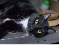 Bodies , Comfortable, and Energy: Brooklyn Center  My name is PEPPER. My Animal ID # is A1102792. I am a neutered male black and white domestic sh. The shelter thinks I am about 6 YEARS old.  I came in the shelter as a OWNER SUR on 02/02/2017 from NY 11207, owner surrender reason stated was LLORDPRIVA.  MOST RECENT MEDICAL INFORMATION AND WEIGHT 02/13/2017 Exam Type BEHAVIORPART2 - Medical Rating is 1 - NORMAL , Behavior Rating is EXPNOCHILD, Weight 13.8 LBS.  POTENTIAL CHALLENGES: _x_ Overstimulation - Pepper is social and affectionate but appears to be easily overstimulated. As a result of this observed behavior we recommend adopters who are familiar with signs of behavioral arousal and agitation in cats, so that interactions can be ended before Pepper becomes overstimulated. We also recommend fishing pole-type toys for play as they allow for interaction and vigorous, stimulating exercise while keeping human hands at a distance. _x_ Uncomfortable with pick up - Pepper did not appear to like being picked up during their behavior evaluation. Please keep in mind there are many reasons why a cat may be uncomfortable with this type of handling and that this may not necessarily translate into a home environment. We recommend his future family be counseled in respecting the cat's space and to use care when picking him up, especially while he is still adjusting to his new home. RECOMMENDATIONS: _x_ Experienced, adult home only - Pepper solicits attention and accepts petting but may be uncomfortable with quick movements and prolonged interactions. When petting him in a slow and gentle manner, he is very affectionate and will lie down next to the assessor, purring and leaning in for attention. However, if the assessor touches him using quick movements, his body becomes tense, he focuses on the assessor's hand, and his tail will sway rapidly back and forth. When continuing to interact with him, he will swat without using nails to stop the interaction. However, when coaxed, h
