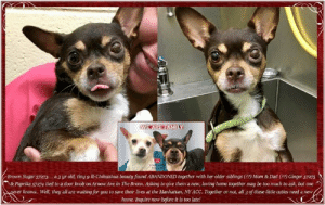 Andrew Bogut, Animals, and Chihuahua: Brown Sugar 57273. a 3 yr old, tiny 9 lb Chihuahua beauty found ABANDONED together with her older siblings (2?) Mom & Dad (??) Ginger 57275  &Paprik a 57274 tied to a door knob on Arrow Ave in The Bronx Asking togve them a new, loving home together may be too much to ask, but one  never knows. Well, they all are waiting for you to save their lives at the Manhattan, NY ACC. Together or not, all 3 of these little cuties need a new  home. Inquire now before it is too late **FOSTER or ADOPTER NEEDED ASAP** Brown Sugar 57273.... a 3 yr old, tiny 9 lb Chihuahua beauty found ABANDONED together with her older siblings (??) Mom & Dad (??) Ginger 57275 & Paprika 57274 tied to a door knob on Arnow Ave in The Bronx. Asking to give them a new, loving home together may be too much to ask, but one never knows.. Well, they all are waiting for you to save their lives at the Manhattan, NY ACC. Together or not, all 3 of these little cuties need a new home. Inquire now before it is too late!  Brown Sugar 57273 Small Mixed Breed: Chihuahua Sex: Female Age 3 yrs (approx.) - 9 lbs My health has been checked. ... My vaccinations are up to date. My worming is up to date.  I have been micro-chipped.  I am waiting for you at the Manhattan, NY ACC. Please, Please, Please, save me!!!   FOUND WITH older siblings (??) Mom & Dad (??)  Ginger 57275  https://www.nycacc.org/adopt/ginger-57275 &  Paprika 57274 https://www.nycacc.org/adopt/paprika-57274  ****************************************** To FOSTER or ADOPT, SPEAK UP NOW:  Direct Adopt from the ACC Or Apply with rescues Or Message Must Love Dogs - Saving NYC Dogs  for assistance ASAP!!! ******************************************  The general rule is to foster you have to be within 4 hours of the NYC ACC approved New Hope partner rescues you are applying with and to adopt you will have to be in the general NE US area; NY, NJ, CT, PA, DC, MD, DE, NH, RI, MA, VT & ME (some rescues will transport to VA) UNLESS 