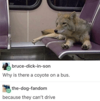 Coyote, Dick, and Drive: bruce-dick-in-son  Why is there a coyote on a bus.  the-dog-fandom  because they can't drive meirl