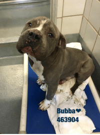 Bubba, Dogs, and Food: Bubba  463904 Email Placement@sanantoniopetsalive.org if you are interested in Adopting, Fostering, or Rescuing!  Our shelter is open from 11AM-7PM Mon -Fri, 11AM-5PM Sat and Sun.  Urgent Pets are at Animal Care Services/151 Campus. SAPA! is Only in Bldg 1 GO TO SAPA BLDG 1 & bring the Pet's ID! Address: 4710 Hwy. 151 San Antonio, Texas 78227 (Next Door to the San Antonio Food Bank on 151 Access Road)  **All Safe Dogs can be found in our Safe Album!** ---------------------------------------------------------------------------------------------------------- **SHORT TERM FOSTERS ARE NEEDED TO SAVE LIVES- email placement@sanantoniopetsalive.org if you are interested in being a temporary foster!!**