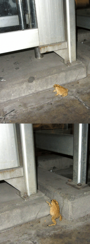 Asian, Climbing, and Phone: buddhabrand:  pickledpennies:  toadschooled:  This Asian common toad [Duttaphrynus melanostictus] was spotted climbing into a phone booth at the Bangkok Asiatique Night Market. Photographs by  Michal Ginter  he needs to make an important call   maybe he's common in asia, but, in my heart, he's one in a million