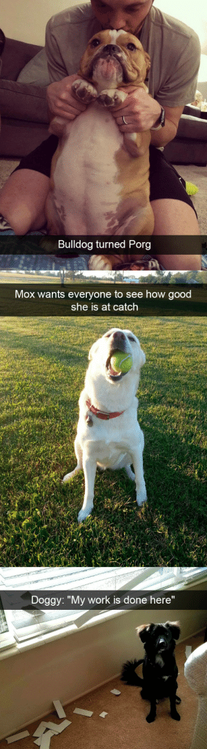 "Target, Tumblr, and Work: Bulldog turned Porg   Mox wants everyone to see how good  she is at catch   Doggy: ""My work is done here"" babyanimalgifs:  Dog snaps via @animalsnaps"