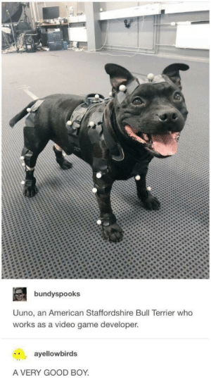 Videos, American, and Game: bundyspooks  Uuno, an American Staffordshire Bull Terrier who  works as a video game developer.  ayellowbirds  A VERY GOOD BOY good boy