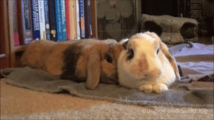 Bunnies, Love, and Tumblr: bunnies-and-sunshine:  Bunny kisses, mlems, and wiggle noses!  Just a bit of bunny love and silliness to help brighten your day!