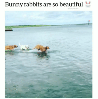 Beautiful, Bunnies, and Dogs: Bunny rabbits are so beautiful  @funpawcare What type of bunnies are these? 💓🐰@funpawcare . . @gus_and_reagan_goldens venice venicebeach la cali california losangeles socal santamonica Malibu beverlyhills pacificpalisades brentwood manhattanbeach marinadelmar culvercity southbay westside westla westwood marvista marinadelrey dog dogs rabbit rabbitsofinstagram dogsofinstagram jump hop goldenretriever golden