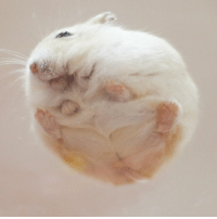 9gag, Cute, and Memes: But have you seen the bottom view of a hamster? - By @mona_tama - cute hamster 9gag