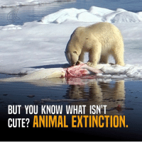 Save these cute little adorable white teddy bears!: BUT YOU KNOW WHAT ISN'T  CUTE?  ANIMAL EXTINCTION. Save these cute little adorable white teddy bears!