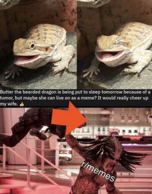 We did it Reddit by BorkJork MORE MEMES: Butter the bearded dragon is being put to sleep tomorrow because of a  tumor, but maybe she can live on as a meme? It would really cheer up  my wife.  r/memes We did it Reddit by BorkJork MORE MEMES