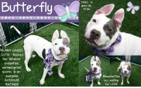 Andrew Bogut, Animals, and Cats: Butterfly  39061-4  years old  55 bs  BUNNY EARED  CUTIE Rocked  her behavior  evaluation  earned great  scores bran  awesome  AVERAGE  RATING!!!  manhattan  acc waiting  for LOVE **** TO BE KILLED - 8/30/2018 ****  AVERAGE RATED SWEETHEART NEEDS A LOVING HOME <3 A volunteer writes: Her ears get all the attention, hence her given name, Butterfly. Butterfly is more than pretty ears. She is a cute gal in a little rascal dress, always welcoming with her gentle eyes and sweet smile and so relaxing to spend time with. Indeed, Butterfly goes with the flow, a willing and happy companion ready to follow her caretaker in each of his/her moves. She enjoys the company of other dogs, in playgroups but also those neared in the street or the yard, even the little ones. Her tail wags a lot and she often looks at me like for approval. Butterfly might have unique looking ears but she is auditory challenged and the new owner who will be lucky enough to adopt her, might have to learn a few sign languages in order to communicate with her. Butterfly loves treats, is eager to please and likely will learn those tricks easily. Everyone who spent time with Butterfly describes her as lovely, charming and a sweet heart. Come and see for yourself, fall in love and start to build with her wonderful memories. Butterfly is at the Manhattan Care Center.  BUTTERFLY@MANHATTAN ACC Hello, my name is Butterfly My animal id is #39061 I am a female white dog at the Manhattan Animal Care Center The shelter thinks I am about 4 years old, 55 lbs Came into shelter as a stray Aug. 22, 2018  Butterfly is at risk for medical reasons, having been diagnosed with pneumonia, which is contagious to other dogs. For now, Butterfly is being treated with antibiotics, and is taking her medication well. However, an adopter should be aware that if her condition escalates, Butterfly may need hospitalization. Behaviorally, we have no concerns for Butterfly, whom we believe would be suitable f