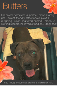 "Being Alone, Andrew Bogut, and Bones: Butters  His parent homeless, a perfect, proven family  pet-sweet, friendly, affectionate, playful, &  outgoing, is sad, shattered, scared & alone. A  sterling resume, he loved a toddler& dogs too!  Id 52141,@ 8 Yrs, 58 lbs. of Love, at Manhattan ACC TO BE KILLED 1/15/2019  His parent homeless, a perfect, proven family pet is shattered and alone! :-(  BUTTERS begs everyone in the rescue community to please try very hard on his behalf to find him a home.  He is 8 years old, you see, and his parent became homeless and could no longer care for him.  He has only known the love of his family, and he was a PERFECT FAMILY PET, following them around the house for love and kisses.  He adored the 10 month old child he lived with and was so sweet with her.  He regularly went to the dog park too, and loved his outings where he was a wonderful friend to every dog he met.  He's scared, frightened, confused, shattered, and rightly so.  Is no one allowed to grieve without being judged harshly and sentenced to die?   In his real life, in the world he loved and lost, Butters was completely relaxed, friendly, affectionate, social and playful with people big or small, and strangers too!  He has an absolutely STERLING resume of skills – house trained, knows many commands, didn't mind baths, and when he was off leash on walks he would come right back when you called.   Let's face it, Butters will be doomed to die for no good reason except he's sad and scared and that is just not fair.  He wants his family, his comfy bed, his toy box filled with stuffies, balls, chew toys and squeakies.  What he doesn't want is to keep living in this hell, bereft of everyone he has ever loved.  So please, have a heart.  If you are an experienced foster or adopter in an adult only home (kids over 13 ok) please  throw him a lifeline -- hurry and MESSAGE our page or email us at MustLoveDogsNYC@gmail.com for assistance fostering or adopting sweet BUTTERS so his life can be saved.  BUTTERS, ID# 52141 @ 8 Yrs. Old, 59.2 lbs. Manhattan ACC, Large Mixed Breed, Gray / White, Unaltered Male Owner Surrender Reason:  Parent became homeless Shelter Assessment Rating:   New Hope Rescue Only Intake Behavior Rating:   4. Orange  AT RISK MEMO:   Butters has not acclimated well to the care center and has shown distance increasing behaviors and has allowed for only minimal handling. Butters would do best with a new hope partner that can manage and modify his fearful behaviors. Medically, Butters has a heart murmur which is recommended for follow up vet care.    INTAKE NOTES – DATE OF INTAKE, 1/8/2019:  Butters allowed staff to leash and place in kennel with ease.   OWNER SURRENDER NOTES – BASIC INFORMATION:  Butters is an 8 year old unaltered male gray and white dog. The previous owner was evicted from her apartment and can't take her dog with her to where she will be staying. He previously lived with 1 adult and 1 child Butters is friendly and outgoing. with adults he plays exuberantly.  Butters lived with a 10 month old baby girl. With her child he was relaxed, playful, and respectful. He play exuberantly with children. Butters would regularly visit the dog park. While interacting with the other dogs he would be respectful and playful. He plays with other dogs exuberantly. It is unknown how Butters would behave around cats.   He isn't bothered when food, toys, bones, rawhide, treats, or other items are taken from him. Butters has not bitten another animal or person that the previous owner is aware of.   He is housetrained and has a very high energy level – Butters is friendly, affectionate, playful, confident and independent.  He has never had any medical issues.   For a New Family to Know: Butters is described as friendly, affectionate, playful, confident, and independent with a very high activity level. When in the home, Butters is the type to follow you around the home or be in the same room. He likes to play with balls, stuffed toys, chews, bones, and squeaky toys. He was kept indoors and was fed both wet and dry food. Butters is house trained and would go potty on grass and cement. He isn't bothered when being pulled off furniture, being held or restrained, disturbed while sleeping, getting a bath, or being brushed. The previous owner never tried to trim his nails. He is crate trained and does well for 4 hours. He knows the commands sit, come, down, and stay. He likes brisk walks on the leash and off-leash dog parks. He pulls when on leash and will wander but come when called while off leash.   SHELTER ASSESSMENT – DATE OF ASSESSMENT, 1/13/2019 Summary: At the care center, Butters has growled at handlers and allowed minimal handling. When offered a treat, he watched the assessor's hand and froze. Due to this fearful behavior and avoidance of contact, he is not a good candidate for a handling assessment at this time.   INTAKE BEHAVIOR - Date of intake:: 1/8/2019.   Summary:: Allowed all handling with ease.  ENERGY LEVEL: Butters is described as having a very high level of activity. We recommend long-lasting chews, food puzzles, and hide-and-seek games, in additional to physical exercise, to positively direct his energy and enthusiasm.  BEHAVIOR DETERMINATION:: New Hope Only Behavior Asilomar: TM - Treatable-Manageable  Recommendations:: No children (under 13),Place with a New Hope partner Recommendations comments:: No children: Due to the potential for defensive aggression Butters has displayed at the care center, we recommend an adult only home. Place with a New Hope partner: While Butters was described as being friendly with new people in his previous home, at the care center he has been fearful, growling and freezing. We recommend placement with a New Hope partner who can provide any necessary behavior modification (force-free, positive reinforcement-based) and re-evaluate behavior in a stable home environment before placement into a permanent home.  Potential challenges: : Fearful/potential for defensive aggression Potential challenges comments:: Fearful/potential for defensive aggression: Butters has been fearful at the care center and has displayed the potential for defensive aggression. Please see the handout on Fearful/potential for defensive aggression. :    MEDICAL EXAM NOTES   11/01/2019  [DVM Intake] DVM Intake Exam Estimated age: 8 y Microchip noted on Intake? no Microchip Number (If Applicable): History : owner surrender Subjective: BARH, good appetite, no elimination concerns Observed Behavior - was muzzled, whale eyed, growled and barked during assessment Evidence of Cruelty seen - no Evidence of Trauma seen - no Objective P = wnl R = wnl BCS 5/9 EENT: Eyes clear, ears clean, no nasal or ocular discharge noted Oral Exam: unremarkable PLN: No enlargements noted H/L: NSR, systolic apical murmur on the left side, CRT < 2, Lungs clear, eupnic ABD: Non painful, no masses palpated U/G: male intact 2 testicles soft symmetric, no leakage or discharge MSI: Ambulatory x 4, skin free of parasites, no masses noted, healthy hair coat CNS: Mentation appropriate - no signs of neurologic abnormalities Rectal: visually normal Assessment heart murmur grade 2/6 Prognosis: good Plan: recommend cardiologist consultation with ultrasound SURGERY: heart murmur perm. waiver 1619   11/01/2019  [Spay/Neuter Waiver - Medical Condition] Your newly adopted pet has been diagnosed with A HEART MURMUR and the staff veterinarians are issuing a permanent waiver from the spay/neuter requirements of the City of NY. Follow up care at your regular veterinarian is recommended to ensure continued treatment. Your veterinarian will advise you if surgical sterilization is appropriate.  *** TO FOSTER OR ADOPT ***   BUTTERS IS RESCUE ONLY. You must fill out applications with New Hope Rescues to foster or adopt him. He cannot be reserved online at the ACC ARL, nor can he be direct adopted at the shelter. PLEASE HURRY AND MESSAGE OUR PAGE FOR ASSISTANCE!     HOW TO RESERVE A ""TO BE KILLED"" DOG ONLINE (only for those who can get to the shelter IN PERSON to complete the adoption process, and only for the dogs on the list NOT marked New Hope Rescue Only). Follow our Step by Step directions below!   *PLEASE NOTE – YOU MUST USE A PC OR TABLET – PHONE RESERVES WILL NOT WORK! **   STEP 1: CLICK ON THIS RESERVE LINK: https://newhope.shelterbuddy.com/Animal/List  Step 2: Go to the red menu button on the top right corner, click register and fill in your info.   Step 3: Go to your email and verify account  \ Step 4: Go back to the website, click the menu button and view available dogs   Step 5: Scroll to the animal you are interested and click reserve   STEP 6 ( MOST IMPORTANT STEP ): GO TO THE MENU AGAIN AND VIEW YOUR CART. THE ANIMAL SHOULD NOW BE IN YOUR CART!  Step 7: Fill in your credit card info and complete transaction   HOW TO FOSTER OR ADOPT IF YOU *CANNOT* GET TO THE SHELTER IN PERSON, OR IF THE DOG IS NEW HOPE RESCUE ONLY!   You must live within 3 – 4 hours of NY, NJ, PA, CT, RI, DE, MD, MA, NH, VT, ME or Norther VA.   Please PM our page for assistance. You will need to fill out applications with a New Hope Rescue Partner to foster or adopt a dog on the To Be Killed list, including those labelled Rescue Only. Hurry please, time is short, and the Rescues need time to process the applications.  Shelter contact information Phone number (212) 788-4000  Email adoption@nycacc.org  Shelter Addresses: Brooklyn Shelter: 2336 Linden Boulevard Brooklyn, NY 11208 Manhattan Shelter: 326 East 110 St. New York, NY 10029 Staten Island Shelter: 3139 Veterans Road West Staten Island, NY 10309    *** NEW NYC ACC RATING SYSTEM ***  Level 1 Dogs with Level 1 determinations are suitable for the majority of homes. These dogs are not displaying concerning behaviors in shelter, and the owner surrender profile (where available) is positive. Some dogs with Level 1 determinations may still have potential challenges, but these are challenges that the behavior team believe can be handled by the majority of adopters. The potential challenges could include no young children, prefers to be the only dog, no dog parks, no cats, kennel presence, basic manners, low level fear and mild anxiety.   Level 2  Dogs with Level 2 determinations will be suitable for adopters with some previous dog experience. They will have displayed behavior in the shelter (or have owner reported behavior) that requires some training, or is simply not suitable for an adopter with minimal experience. Dogs with a Level 2 determination may have multiple potential challenges and these may be presenting at differing levels of intensity, so careful consideration of the behavior notes will be required for counselling. Potential challenges at Level 2 include no young children, single pet home, resource guarding, on-leash reactivity, mouthiness, fear with potential for escalation, impulse control/arousal, anxiety and separation anxiety.   Level 3 Dogs with Level 3 determinations will need to go to homes with experienced adopters, and the ACC strongly suggest that the adopter have prior experience with the challenges described and/or an understanding of the challenge and how to manage it safely in a home environment. In many cases, a trainer will be needed to manage and work on the behaviors safely in a home environment. It is likely that every dog with a Level 3 determination will have a behavior modification or training plan available to them from the behavior department that will go home with the adopters and be made available to the New Hope Partners for their fosters and adopters. Some of the challenges seen at Level 3 are also seen at Level 1 and Level 2, but when seen alongside a Level 3 determination can be assumed to be more severe. The potential challenges for Level 3 determinations include adult only home (no children under the age of 13), single pet home, resource guarding, on-leash reactivity with potential for redirection, mouthiness with pressure, potential escalation to threatening behavior, impulse control, arousal, anxiety, separation anxiety, bite history (human), bite history (dog) and bite history (other).  New Hope Rescue Only  Dog is not publicly adoptable.  Prospective fosters or adopters need to fill out applications with New Hope Partner Rescues to save this dog."