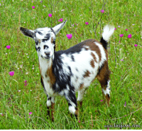 Buttons is the prettiest baby goat this year on the farm: Buttons is the prettiest baby goat this year on the farm