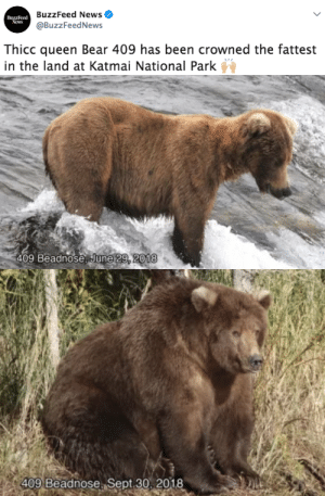 News, Tumblr, and Queen: BuzzFeed News  @BuzzFeedNews  Buzzleed  News  Thicc queen Bear 409 has been crowned the fattest  in the land at Katmai National Park   409 Beadnose June 29, 2018   409 Beadnose Sept 30, 2018 elastigale:  buzzfeed: Bear 409, aka Beadnose, defeated Bear 747 to be crowned fattest in the land for the second time. All hail.