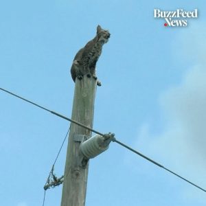 Memes, News, and Bobcat: BuzzFeed  News This bobcat was spotted on top of a utility pole, and people weren't sure if it could get down 😲🙏