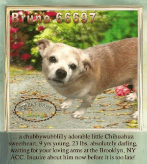 Animals, Chihuahua, and Desperate: BYwno 666977-  EEI BABY  .. a chubbywubblilly adorable little Chihuahua  sweetheart, 9 yrs young, 23 lbs, absolutely darling,  waiting for your loving arms at the Brooklyn, NY  ACC. Inquire about him now before it is too late! **FOSTER or ADOPTER NEEDED ASAP** Bruno 66697 ... a chubbywubblilly adorable little Chihuahua sweetheart, 9 yrs young, 23 lbs, absolutely darling, waiting for your loving arms at the Brooklyn, NY ACC. Inquire about him now before it is too late!  ✔Pledge✔Tag✔Share✔FOSTER✔ADOPT✔Save a life!  Bruno 66697  Small Mixed Breed Sex male Age 9 yrs (approx.) - 23 lbs  My health has been checked.  My vaccinations are up to date. My worming is up to date.  I have been micro-chipped.   I am waiting for you at the Brooklyn, NY ACC. Please, Please, Please, save me!  **************************************** *** TO FOSTER OR ADOPT ***   If you would like to adopt a NYC ACC dog, and can get to the shelter in person to complete the adoption process, you can contact the shelter directly. We have provided the Brooklyn, Staten Island and Manhattan information below. Adoption hours at these facilities is Noon – 8:00 p.m. (6:30 on weekends)  If you CANNOT get to the shelter in person and you want to FOSTER OR ADOPT a NYC ACC Dog, you can PRIVATE MESSAGE our Must Love Dogs - Saving NYC Dogs page for assistance. PLEASE NOTE: You MUST live in NY, NJ, PA, CT, RI, DE, MD, MA, NH, VT, ME or Northern VA. You will need to fill out applications with a New Hope Rescue Partner to foster or adopt a NYC ACC dog. Transport is available if you live within the prescribed range of states.  Shelter contact information: Phone number (212) 788-4000 Email adopt@nycacc.org  Shelter Addresses: Brooklyn Shelter: 2336 Linden Boulevard Brooklyn, NY 11208 Manhattan Shelter: 326 East 110 St. New York, NY 10029 Staten Island Shelter: 3139 Veterans Road West Staten Island, NY 10309 **************************************  NOTE:  WE HAVE NO OTHER INFORMATION THAN WHAT IS LISTED WITH THIS FLYER.  ************************************** RE: ACC site Just because a dog is not on the ACC site does NOT necessarily mean safe. There are many reasons for this like a hold or an eval has not been conducted yet or the dog is rescue-only... the list goes on... Please, do share & apply to foster/adopt these pups as well until their thread is updated with their most current status. TY! ****************************************** About Must Love Dogs - Saving NYC Dogs: We are a group of advocates (NOT a shelter NOR a rescue group) dedicated to finding loving homes for NYC dogs in desperate need. ALL the dogs on our site need Rescue, Fosters, or Adopters & that ASAP as they are in NYC high-kill shelters. If you cannot foster or adopt, please share them far & wide. Thank you for caring!! <3 ****************************************** RESCUES: * Indicates New Hope Rescue partner is accepting applications for fosters and/or adopters. http://www.nycacc.org/get-involved/new-hope/nhpartners ****************************************** https://www.nycacc.org/adopt/bruno-66697 ++++ http://nycaccpets.shelterbuddy.com/animal/animalDetails.asp?s=adoption&searchTypeId=4&animalType=3%2C16&datelostfoundmonth=6&datelostfoundday=23&datelostfoundyear=2019&tpage=8&find-submitbtn=Find+Animals&pagesize=16&task=view&searchType=4&animalid=100132 ++++ Beamer Maximillian Carolin Hocker Caro Hocker