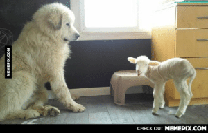 My girlfriend got a lamb. Her dog thinks he is it's fatheromg-humor.tumblr.com: CНЕCK OUT MЕМЕРІХ.COM  MEMEPIX.COM My girlfriend got a lamb. Her dog thinks he is it's fatheromg-humor.tumblr.com