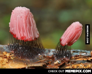 Stemonitis Fusca, weird but amazing species of slime moldomg-humor.tumblr.com: CНЕCK OUT MEМЕРIХ.COM  MEMEPIX.COM Stemonitis Fusca, weird but amazing species of slime moldomg-humor.tumblr.com