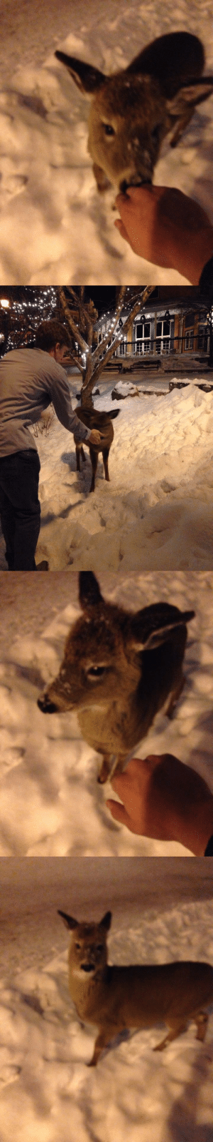 Deer, Lol, and Omg: c-bassmeow:  That magical moment where we pet a baby deer that was walking around Mont Tremblant Canada   Omg I remember this I almost cried lol