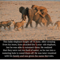 lion attack: (C) Steve Baker  Norman Carr Safaris Zambi  This baby elephant fought off 14 lions. After straying  from his mom, lions attacked the 1-year-old elephant,  but he was able to outsmart them. He realized  that they were not too fond of water, so he ran into a  watering hole to wand them off. He was later reunited  with his family and was given the name Hercules.