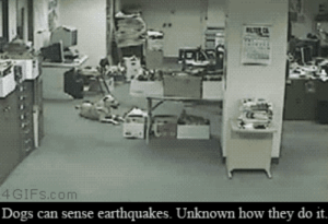 srsfunny:  Dog Reacts To Earthquake: CA  4GIFS.com  earthquakes. Unknown how they do it.  Dogs can sense srsfunny:  Dog Reacts To Earthquake