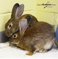 We have a double #WomanCrushWednesday today, because sometimes two is just better than one! Rose and Violet are an adorable bonded pair of buns, and can often be caught cuddling together while they wait for their forever home. These sweet girls are available for a choose your own adoption fee, because we're celebrating rabbits for the entire month of September! See all of our rabbits at calgaryhumane.ca/adopt  #wcw #yychumane #adoptabun: Calgary Humane Society  Connecting lives We have a double #WomanCrushWednesday today, because sometimes two is just better than one! Rose and Violet are an adorable bonded pair of buns, and can often be caught cuddling together while they wait for their forever home. These sweet girls are available for a choose your own adoption fee, because we're celebrating rabbits for the entire month of September! See all of our rabbits at calgaryhumane.ca/adopt  #wcw #yychumane #adoptabun