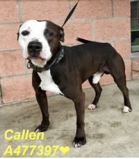 Dogs, Food, and Memes: Callen  A477397% Email Placement@sanantoniopetsalive.org if you are interested in Adopting, Fostering, or Rescuing!  Our shelter is open from 11AM-7PM Mon -Fri, 11AM-5PM Sat and Sun.  Urgent Pets are at Animal Care Services/151 Campus. SAPA! is Only in Bldg 1 GO TO SAPA BLDG 1 & bring the Pet's ID! Address: 4710 Hwy. 151 San Antonio, Texas 78227 (Next Door to the San Antonio Food Bank on 151 Access Road)  **All Safe Dogs can be found in our Safe Album!** ---------------------------------------------------------------------------------------------------------- **SHORT TERM FOSTERS ARE NEEDED TO SAVE LIVES- email placement@sanantoniopetsalive.org if you are interested in being a temporary foster!!**