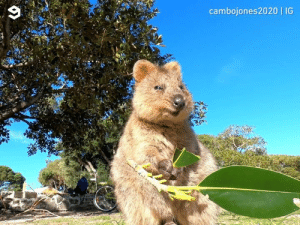 Maybe a 1-min video of a quokka enjoying his leaf is exactly what you need right now.  By cambojones2020 | IG: cambojones2020 IG Maybe a 1-min video of a quokka enjoying his leaf is exactly what you need right now.  By cambojones2020 | IG