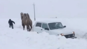 Camel pulls Lada out of snow: Camel pulls Lada out of snow